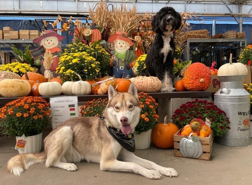 Two dogs among pumpkins and flowers